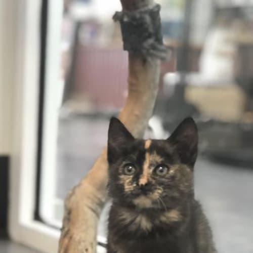 Frida - Domestic Short Hair Cat