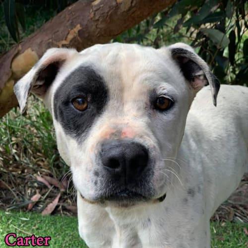 Carter - Staffy Dog