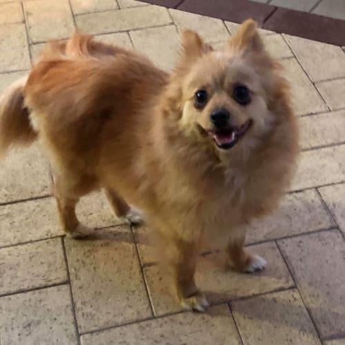 Luna with Carol - Pomeranian Dog