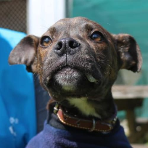 Apollo  928073 - American Staffordshire Terrier x Boxer Dog