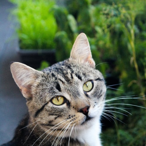 Tiger - Located in Northcote - Domestic Short Hair Cat