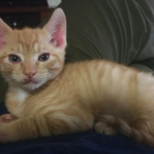 Percy - Domestic Short Hair Cat