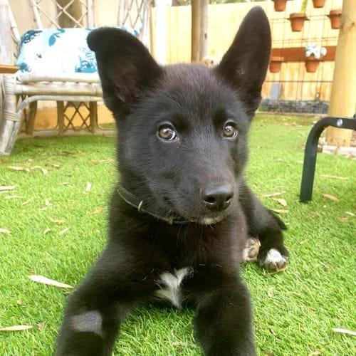 Sean  - German Shepherd Dog