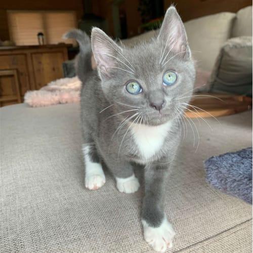 Peggy - Domestic Short Hair Cat