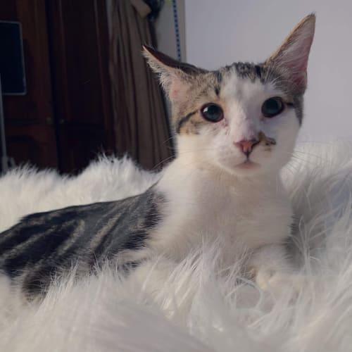 Smudge  - Domestic Short Hair Cat