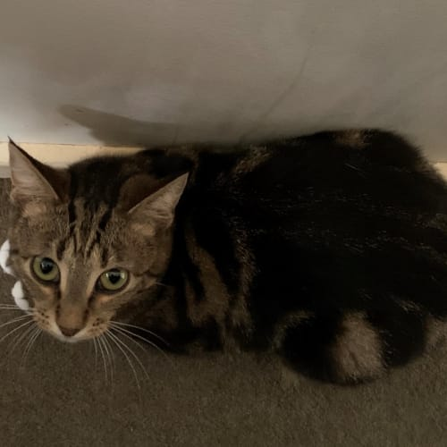 Bronte - Located in Eltham - Domestic Short Hair Cat