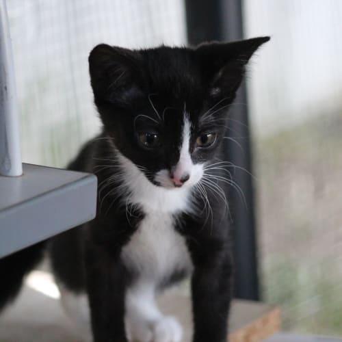 Ori - Domestic Short Hair Cat