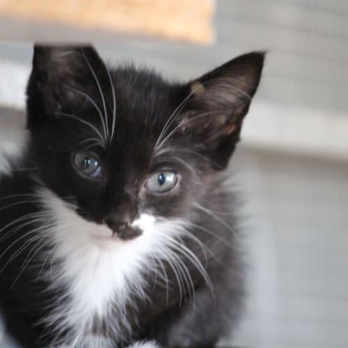 Ari - Domestic Medium Hair Cat