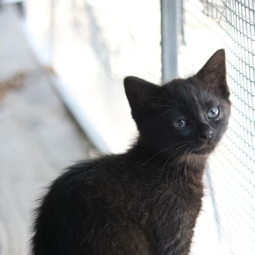 Slinky  - Domestic Medium Hair Cat