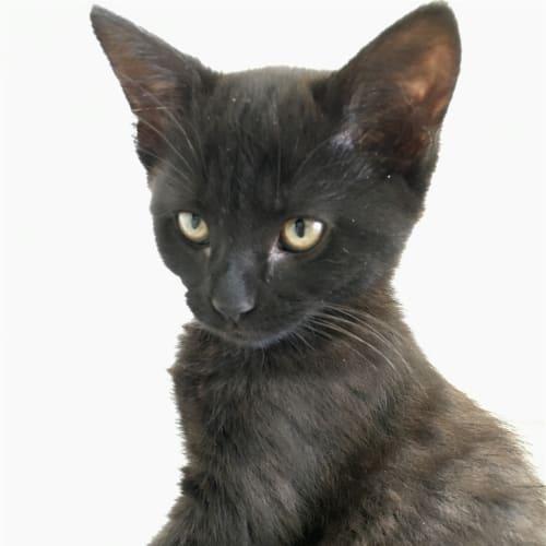 Sage - Domestic Short Hair Cat