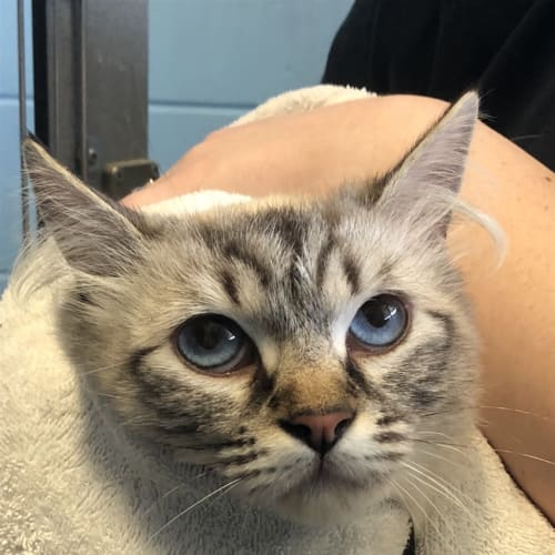 Neliah - Ragdoll Cat