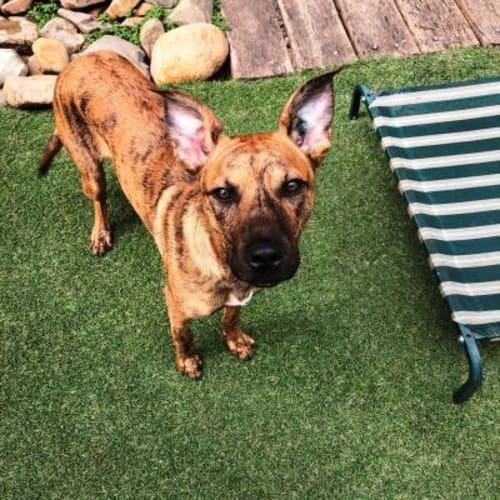 Nova  933212 - Kelpie x Cross breed Dog