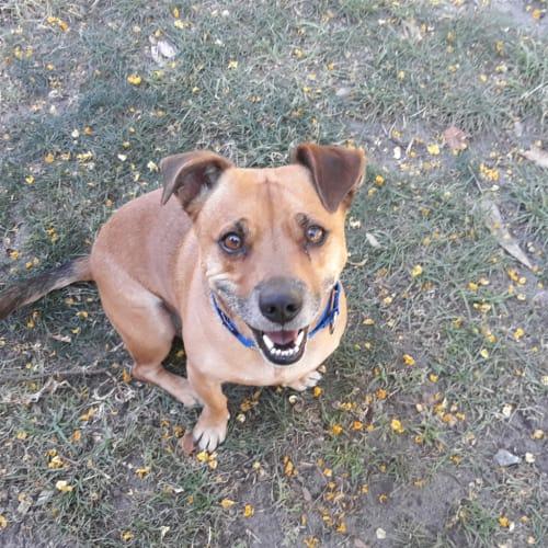 Cedric - Jack Russell Terrier x Rhodesian Ridgeback Dog