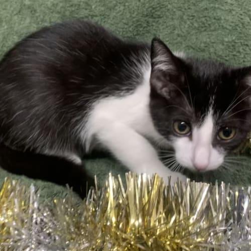 Cj - Domestic Short Hair Cat