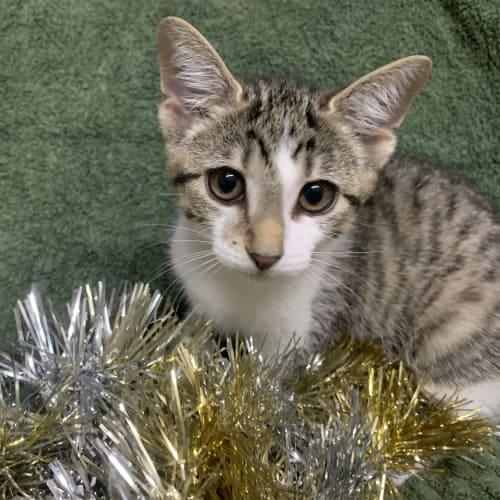 Elle - Domestic Short Hair Cat