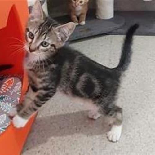 Goober - Domestic Short Hair Cat
