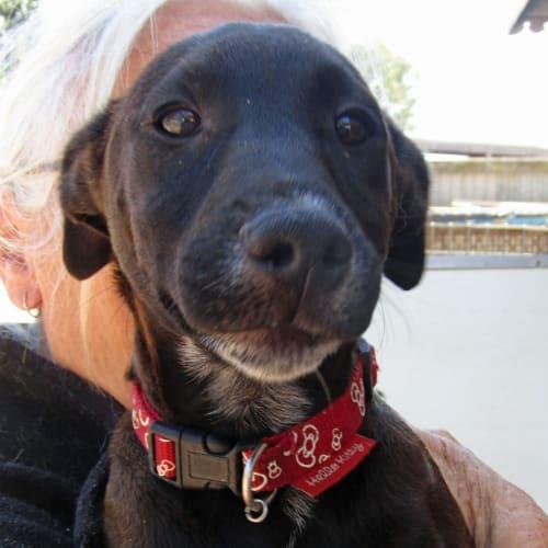 Caitlyn - Cairn Terrier x Cattle Dog