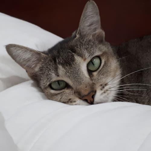 Winslow - Abyssinian Cat