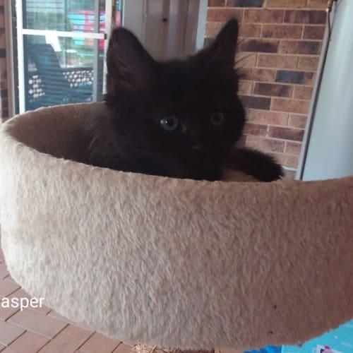 C611 Jasper - Domestic Medium Hair Cat