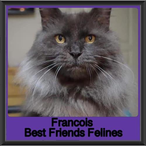 Francois  - Domestic Medium Hair Cat