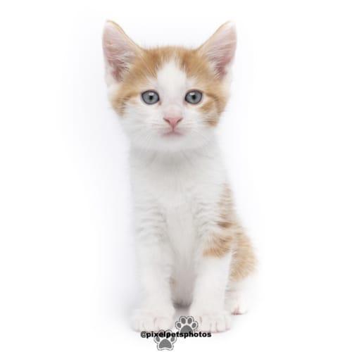 Buckles - Domestic Short Hair Cat