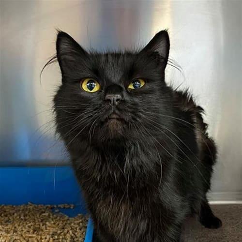Merri - Domestic Medium Hair Cat