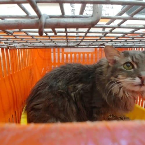 Gerthrud - Domestic Medium Hair Cat