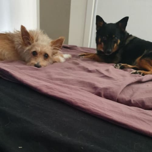 Louis - Australian terrier Dog