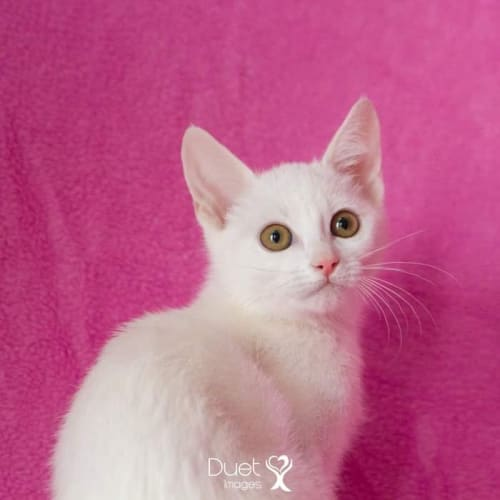 Elsa - Domestic Short Hair Cat