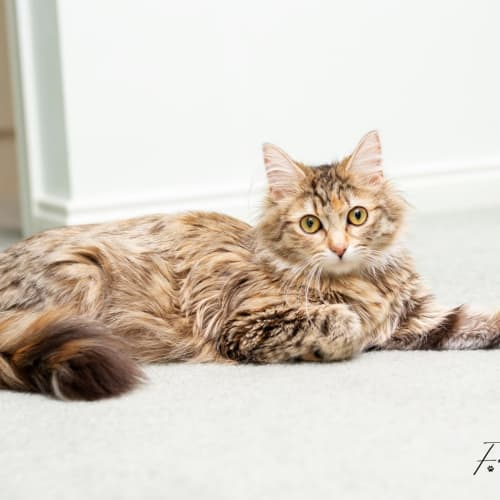 Emma Amelia  - Domestic Medium Hair Cat