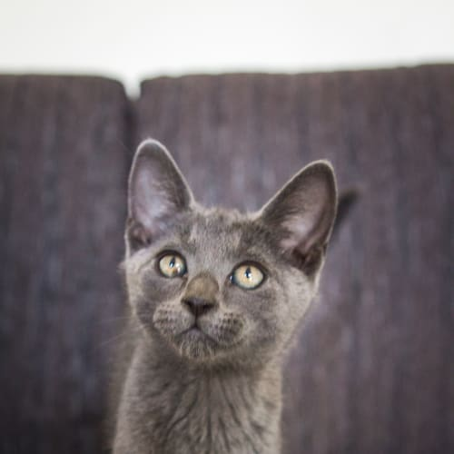 Plum - Domestic Short Hair Cat