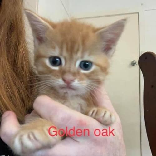 Golden Oak - Domestic Short Hair Cat