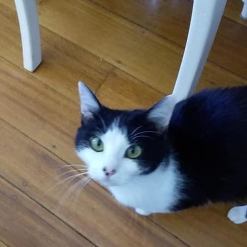 Bonny - Domestic Short Hair Cat