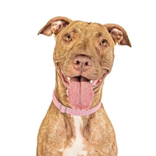 Tammy - Staffy Dog