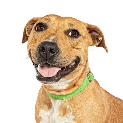 Nova - Staffy Dog