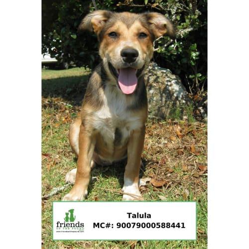 Talula - Smithfield Cattle Dog x Husky Dog