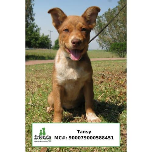 Tansy - Smithfield Cattle Dog x Husky Dog