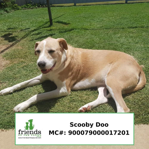 Scooby Doo - Wolfhound Dog