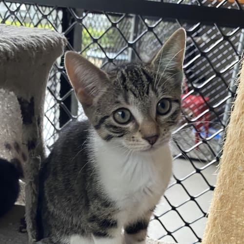 Cindy - Domestic Short Hair Cat