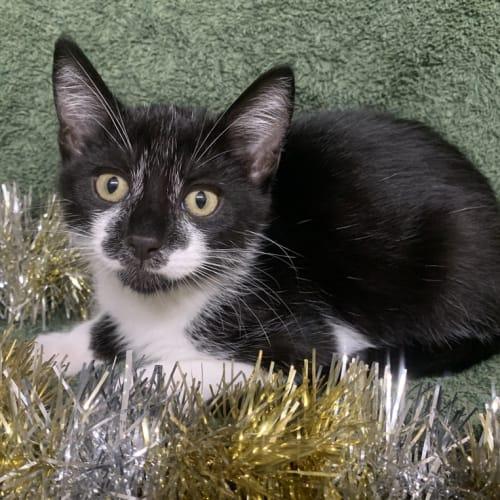 Hoff - Domestic Short Hair Cat