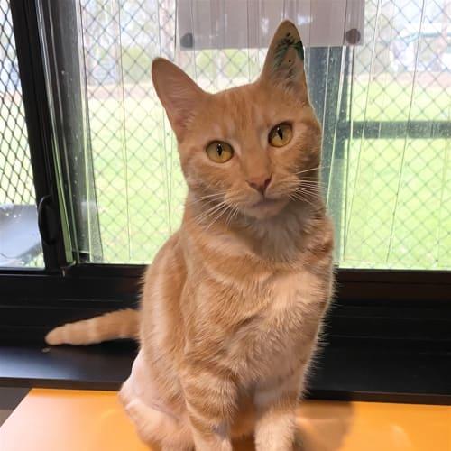 Marmalade - Domestic Short Hair Cat