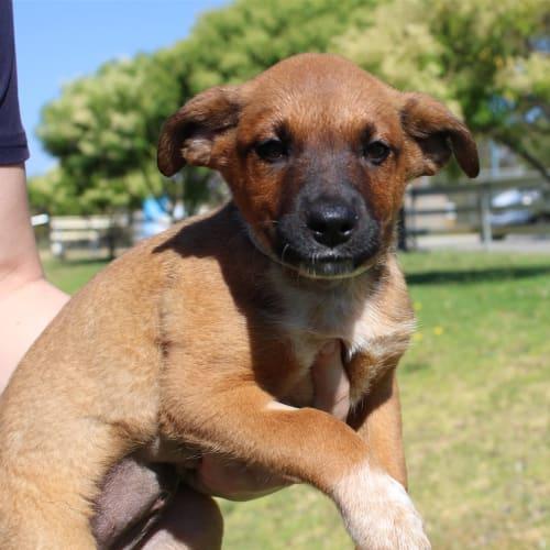 Cali - Kelpie x Red Heeler Dog