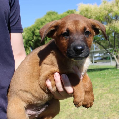 Connor - Kelpie x Red Heeler Dog