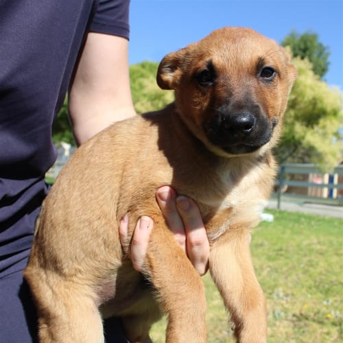 Colin - Kelpie x Red Heeler Dog
