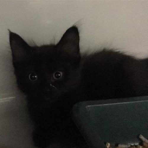 Lark - Domestic Medium Hair Cat