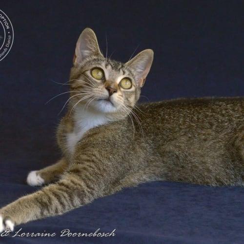 Ticka - Domestic Short Hair Cat