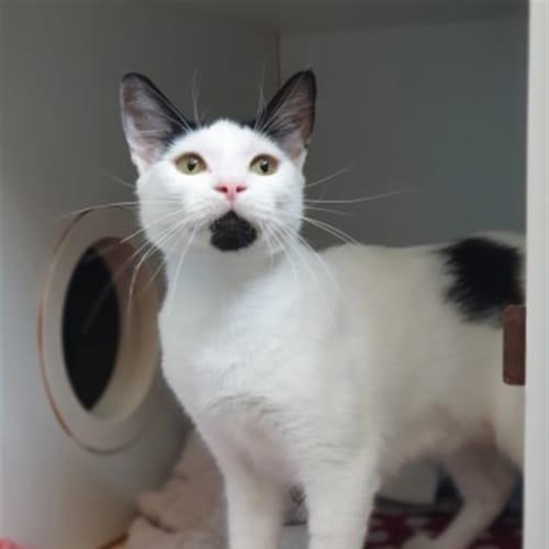Delilah - Domestic Short Hair Cat
