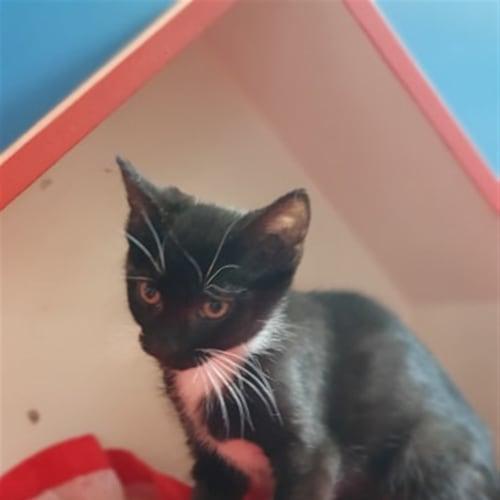 Hermioney - Domestic Short Hair Cat