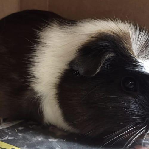 Peppa - Guinea Pig