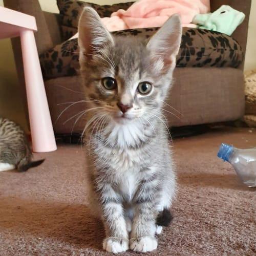 Elliot - Domestic Short Hair Cat